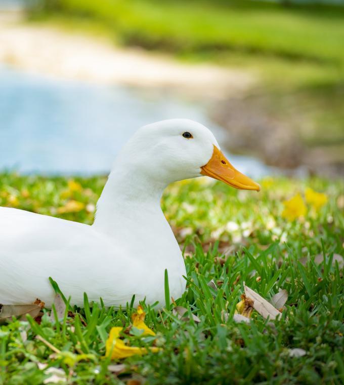 White Pekin Duck on grass