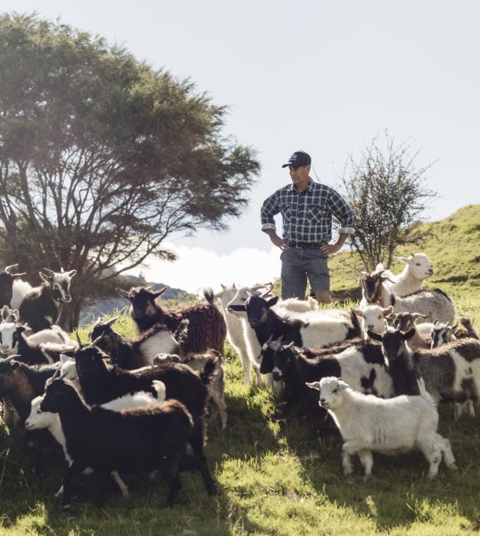 New Zealand goats on an East Cape farm with farmer