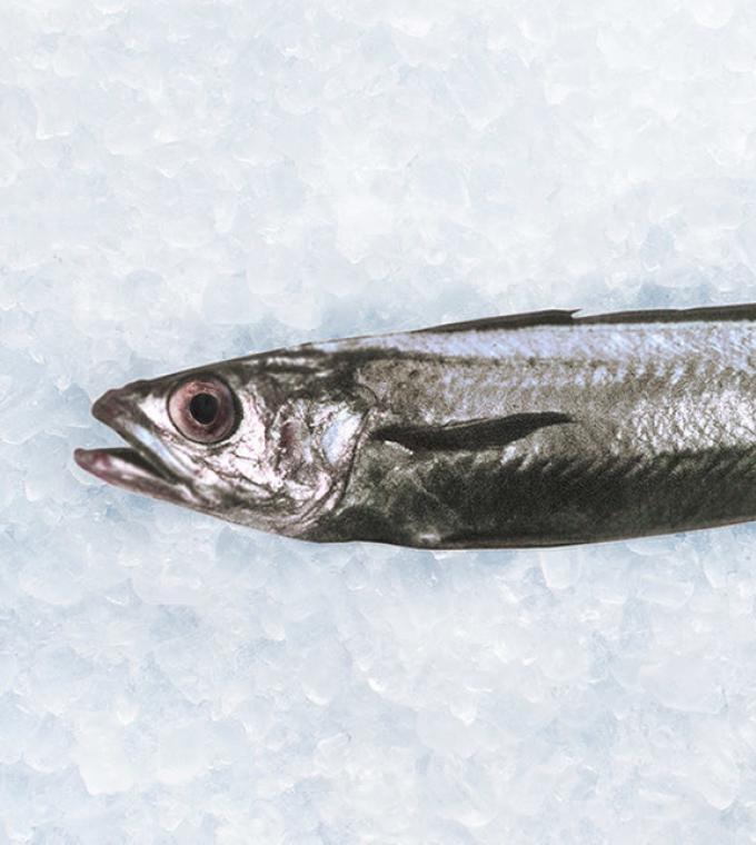 New Zealand Hoki fish on ice